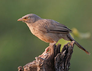 Jungle babbler - Adult ssp. orientalis in Kawal, A.P., India.