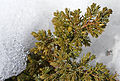 Juniper in winter (2296994144).jpg