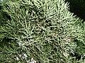 Juniperus communis1.jpg