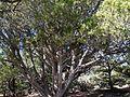 Juniperus osteosperma (Utah Juniper) - Flickr - brewbooks.jpg