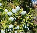 Juniperus osteosperma 4.jpg