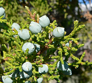 Juniperus osteosperma - Utah Juniper (Juniperus osteosperma) leaves, female cones and male cones, and (center) galls