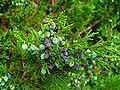 Juniperus sabina 002.JPG