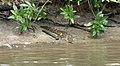 Juvenile crocodile (3611800910).jpg