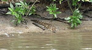 Daintree National Park - Juvenile crocodile