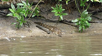 Daintree National Park - Juvenile crocodile