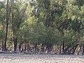 KEORA TREE IN SUNDARBAN - panoramio.jpg