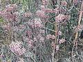 Kalanchoe sp (5661264595).jpg