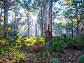 Karri trees - Boranup Forest 01.jpg