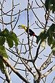 Keel-billed Toucan - Ramphastos sulfuratus (32856751943).jpg