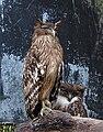 Ketupa Owls.jpg