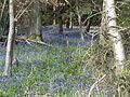 King's Wood in Bluebell season 02.JPG