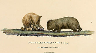 Common wombat - 1807 illustration of the now-extinct wombats of King Island