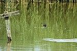 Kingfisher - Lackford Lakes (27464373744).jpg