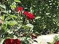 Kirkuk Flower 6.jpg