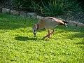Kirstenbosch National Botanical Garden, Cape Town ( 1060050).jpg