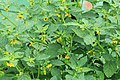 Kluse - Physalis philadelphica - Tomatillo 11 ies.jpg