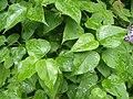 Korina 2013-05-12 Syringa vulgaris 2.jpg