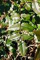 Korina 2017-01-28 Mahonia aquifolium.jpg