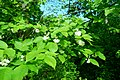 Korina 2018-04-30 Staphylea pinnata.jpg