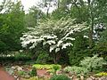 Kousa Dogwood Tree, Elizabeth Park, West Hartford, CT - June 23, 2015.jpg