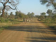 Ein Steppenzebra im Kruger-Nationalpark