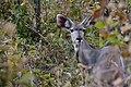Kudu, Ruaha National Park (4) (28406882963).jpg