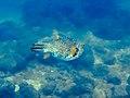 Kugelfisch Panama (27117250725).jpg