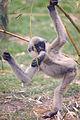 Kung Fu Gibbon (7062768487).jpg