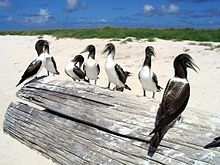 Seven brownish birds sitting on a large log on a beach