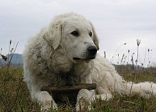 Kuvasz named Kan.jpg