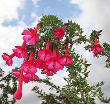 Cantua Buxifolia Wikipedia La Enciclopedia Libre