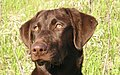 Labrador Retriever chocolate portrait.jpg