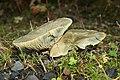 Lactarius deterrimus (30092438251).jpg