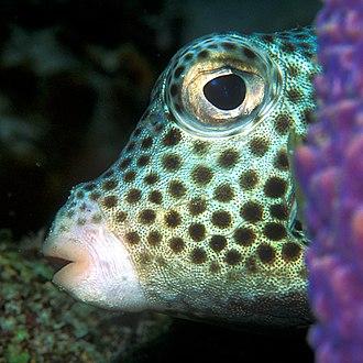 Poisonous fish - Image: Lactophrys bicaudalis
