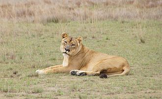 Liuwa Plain National Park - Image: Lady Liuwa, November 2012
