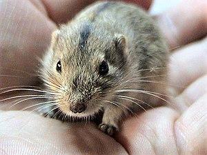 Lagurus (rodent) - Steppe lemming (Lagurus lagurus)