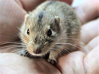 Steppe lemming species of mammal
