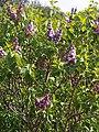 Lamiales - Syringa vulgaris - kew 1.jpg