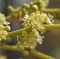 Lannea coromandelica (Wodier Tree) in Hyderabad W2 IMG 5634.jpg