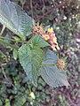 Lantana camara plant.jpg