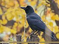 Large-billed Crow (Corvus macrorhynchos) (44144390860).jpg