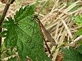 Large Red Damselfly (Female) (4657257853).jpg