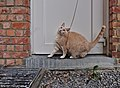 Larry the cat standing on a doorstep and compressing himself to get a wool string in Auderghem, Belgium (DSCF2335).jpg