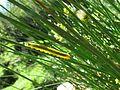Larva de los juncos Dolerus ferrugatus.jpg