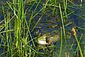 Laughing Frog (Pelophylax ridibundus) - Flickr - berniedup.jpg