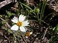 Layia glandulosa (4395561559).jpg
