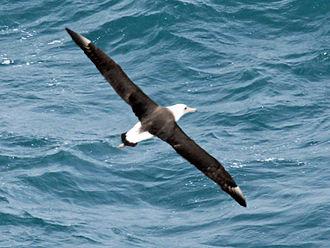 Laysan albatross - Image: Laysan Albatross RWD1