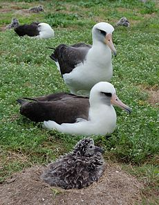 Laysan pair and chick.jpg