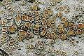 Lecanora.allophana.closeup.jpg